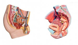 Beckenbodenschwäche, Anatomie Becken, Inkontinenz